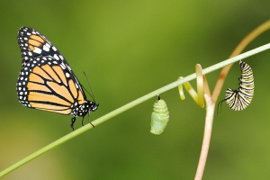 metamorphosis-monarch-butterfly